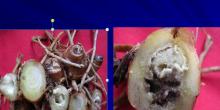 Layu bakteri pada tanaman tanaman kencur