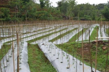 Tanaman Cabai baru ditanam