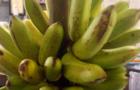 Pisang Mas Kirana Produksi Warga Desa Watupatok Kecamatan Bandar